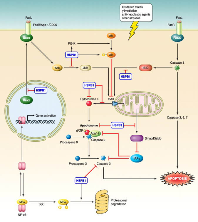 HSP27 Function and Regulation- Regulation of apoptosis by HspB1, Intrinsic and extrinsic pathways.